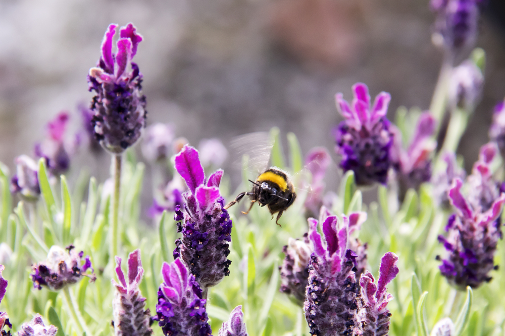 What To Plant To Attract Bumblebees Into Your Garden Reader S Digest