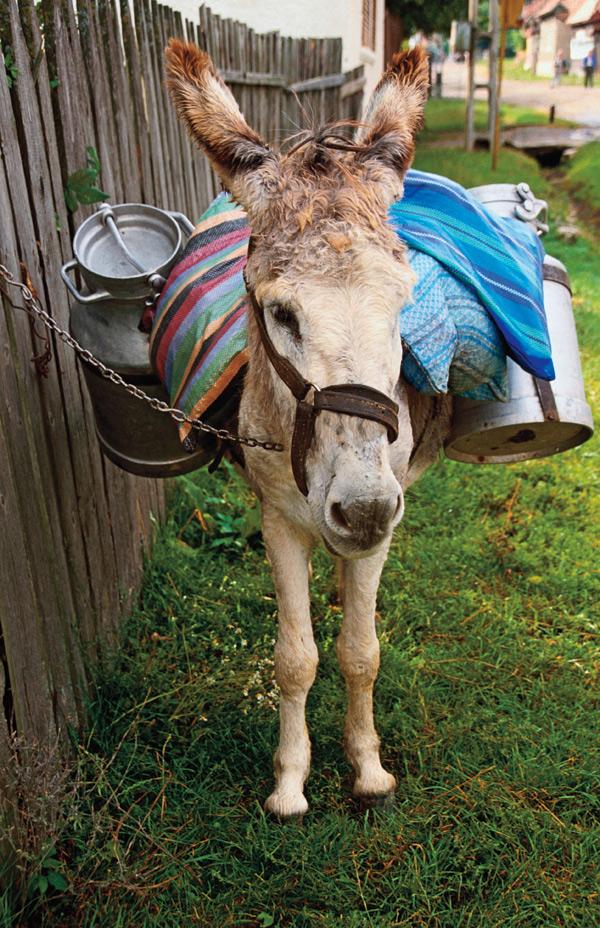 donkey in Transylvania