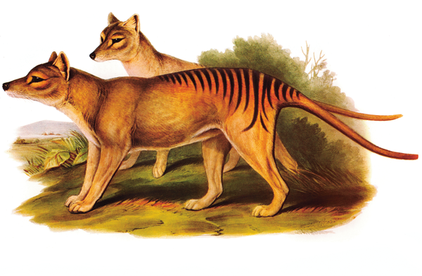 The thylacine, a wolf-like marsupial from Tasmania.