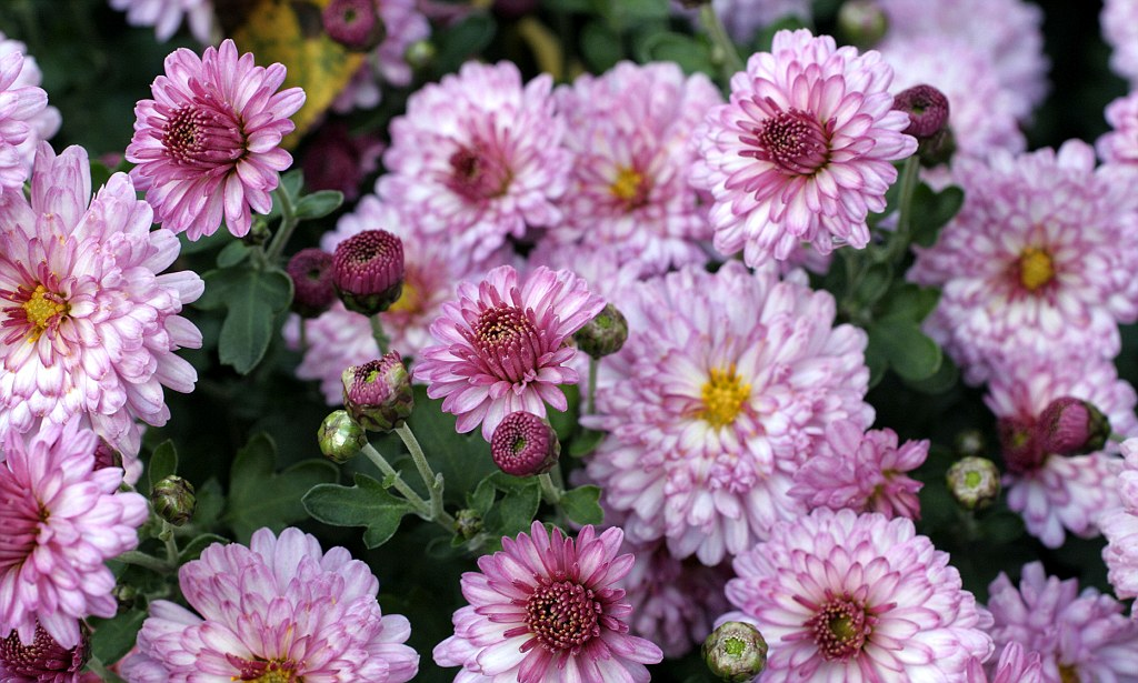 odour of chrysanthemums observations essay Chrysanthemums papers research m going to over 86, research papers thomas odour of chrysanthemums essay help citation in the chrysanthemums symbolism.