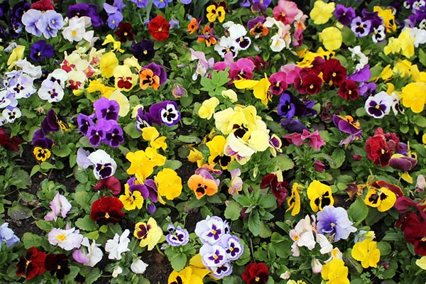 Lots of pansies