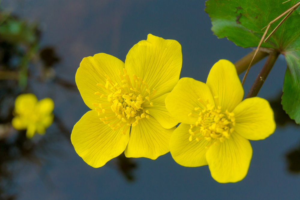 Kingcup or Marsh marigold