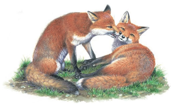 Two illustrated foxes grooming