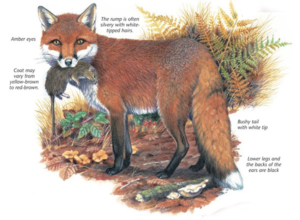 The anatomy of a fox