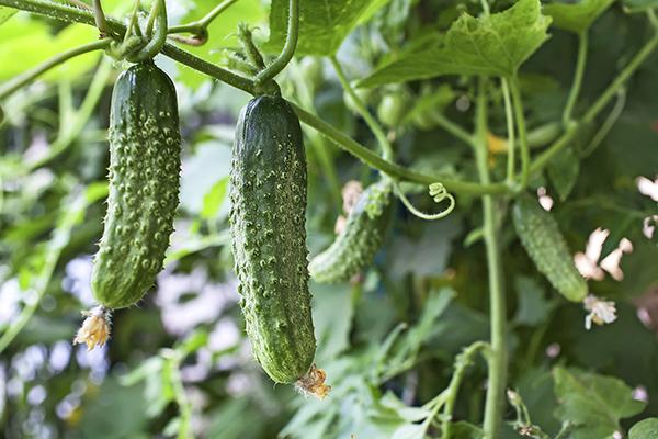 10 Easy To Grow Vegetables Garden Reader S Digest