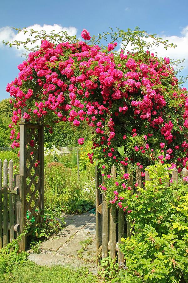 how to care for roses garden reader 39 s digest. Black Bedroom Furniture Sets. Home Design Ideas