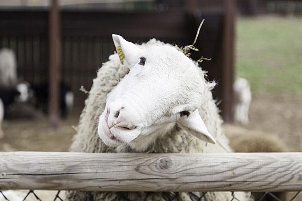 happy little sheep