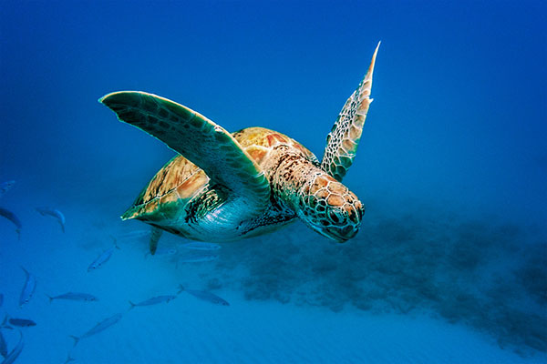 Turtle in the cool Barbados Sea
