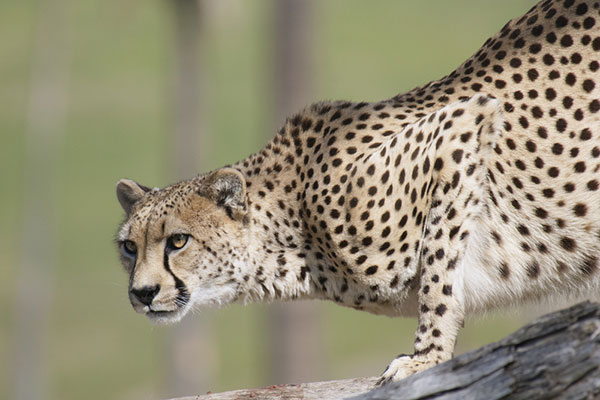 Cheetah's claws are always poised for action