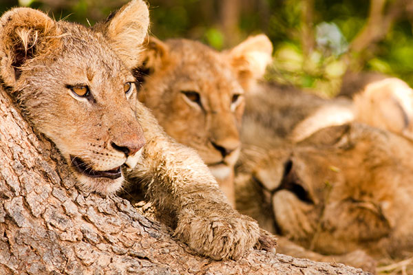 Endangered Lions in Zambia