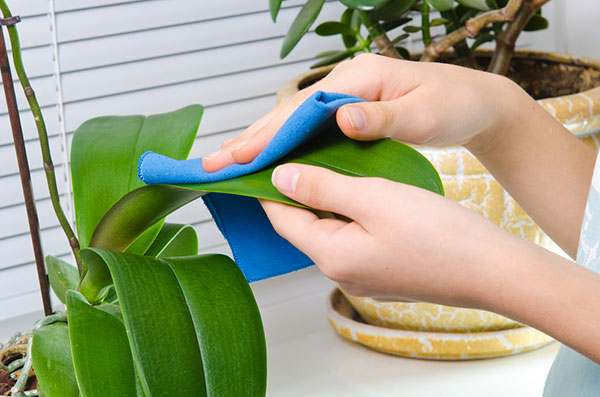 Grooming a houseplant