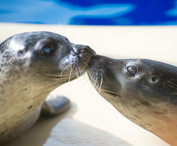 Seals in love