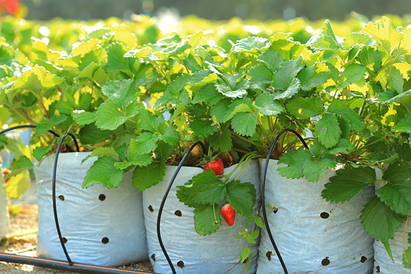 Drip system irrigation watering strawberries