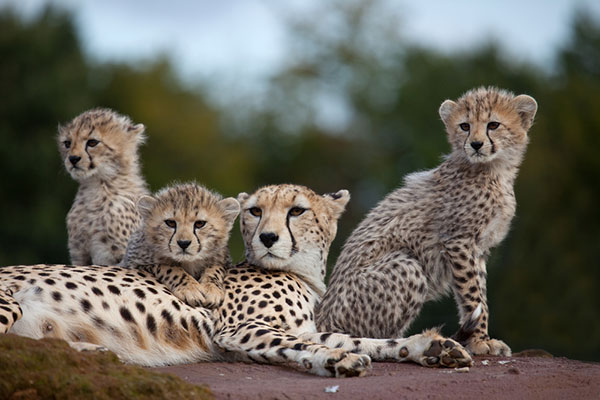 The cheetah population is seriously decreasing