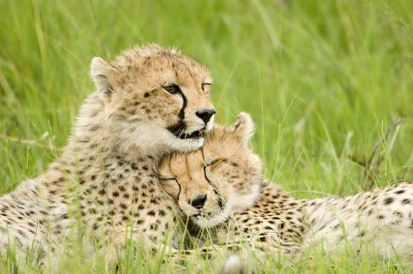 Cheetah - the most endangered cat in africa