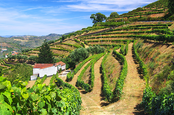 Vineyard portugal