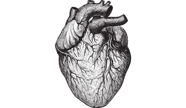 Medical illustration of heart