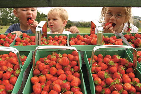 strawberries from fife