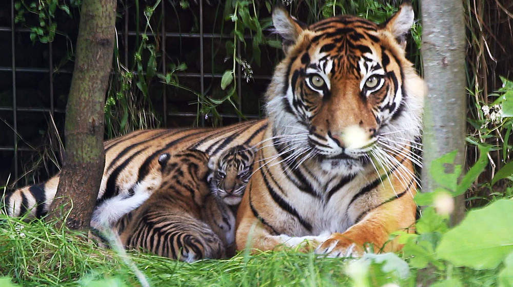 Tiger cubs born at London Zoo in 2016
