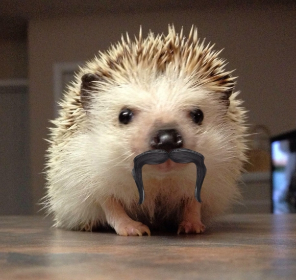 hedgehod with moustache