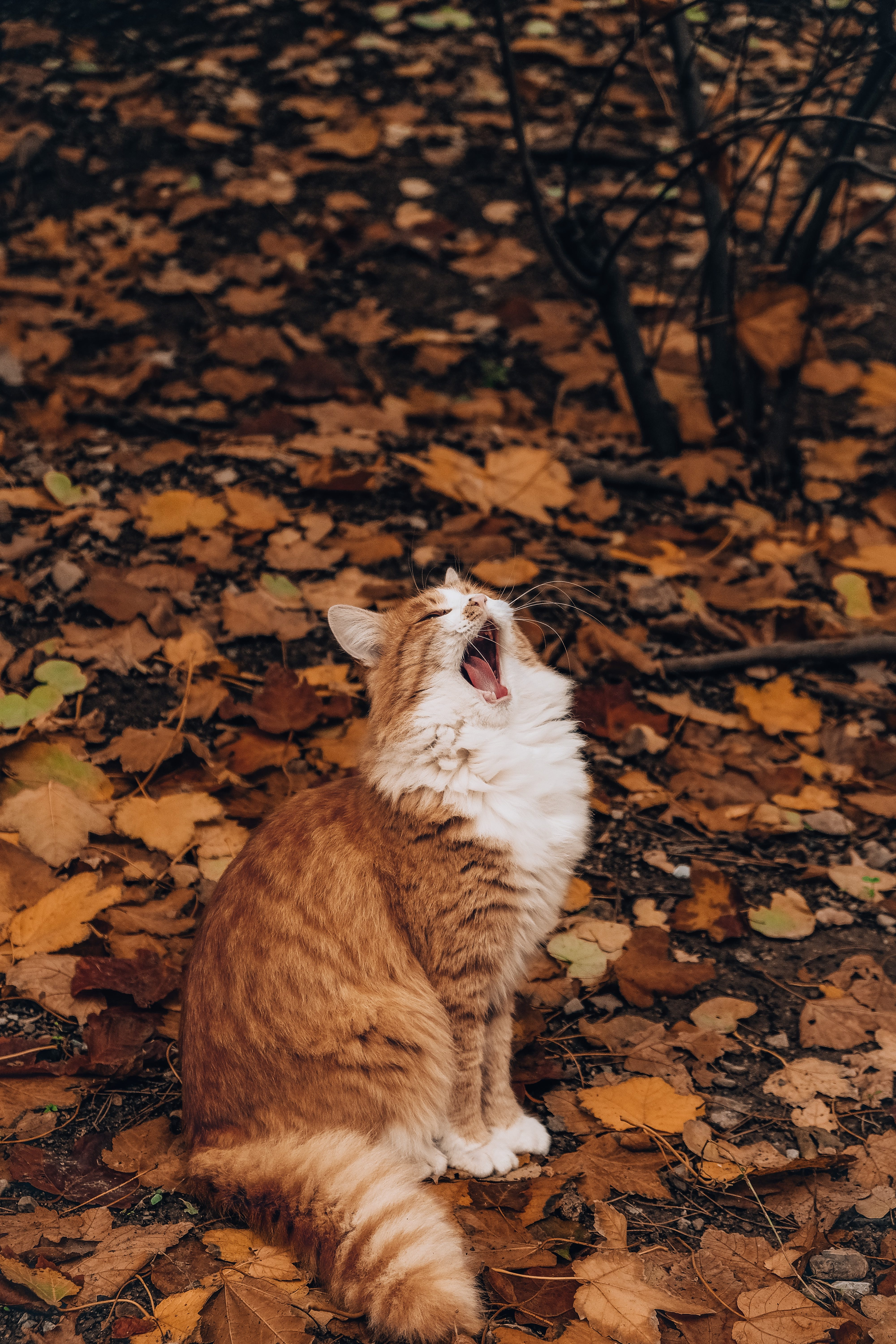 cat yawning autumn
